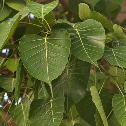 Ficus leaf
