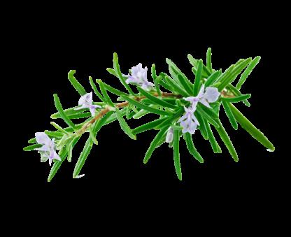 Alecrim (rosmarinus officinalis)