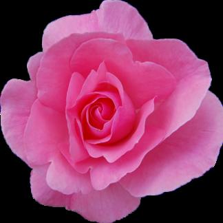 Rosa Damascena, Rosa Damasco