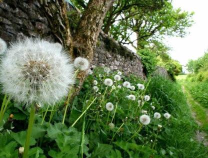 Dandelion Flôr