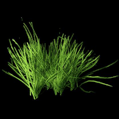 Grama (grass)