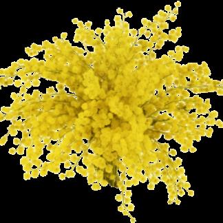 Mimosa (flôr)