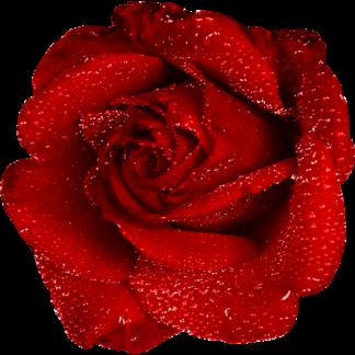 Rosa Vermelha Orvalho
