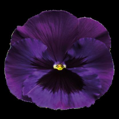 Violeta (flôr)